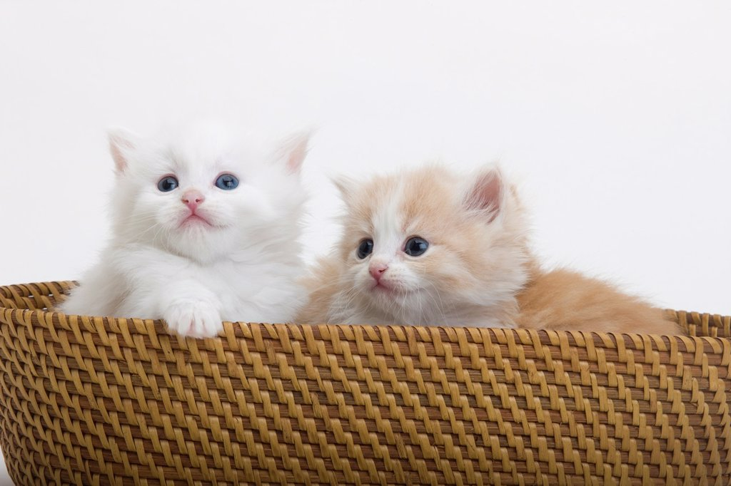 Stock Photo: 1566-1040595 GROUP OF THREE 6 WEEK OLD LONG HAIRED WHITE GINGER KITTENS IN BASKET