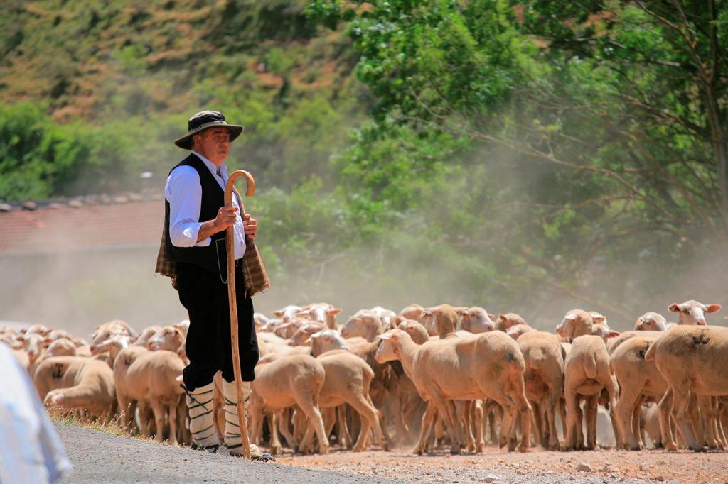 Tradicional sheep saving in Brieva transhumancia festival during spring time. Demanda range mountain range, Demanda mountains, Brieva village, La Rioja, Spain, Europe : Stock Photo