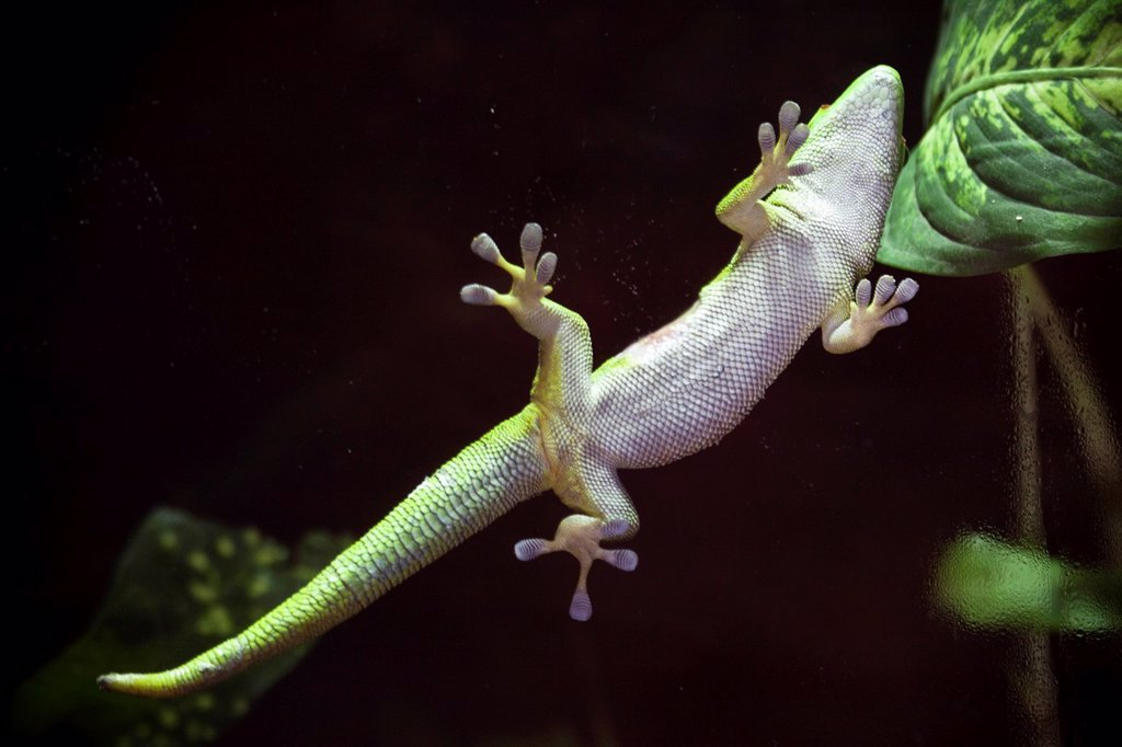 Stock Photo: 1566-1040803 Lagarto trepador