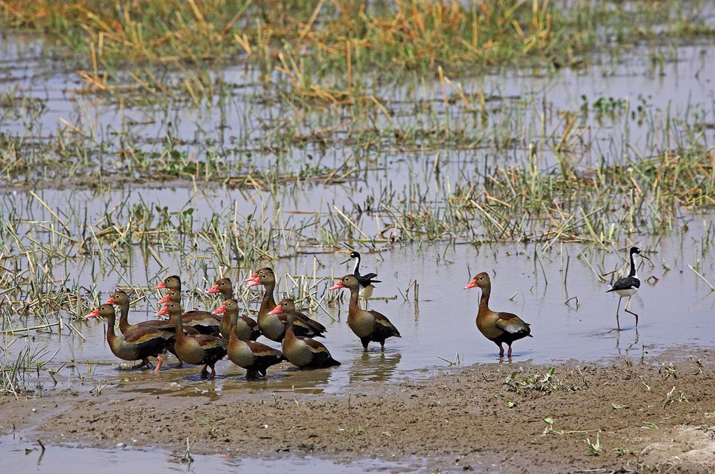 Stock Photo: 1566-1042086 Red-Billed Whistling Duck, dendrocygna automnalis, Group standing in Swamp, Los Lianos in Venezuela