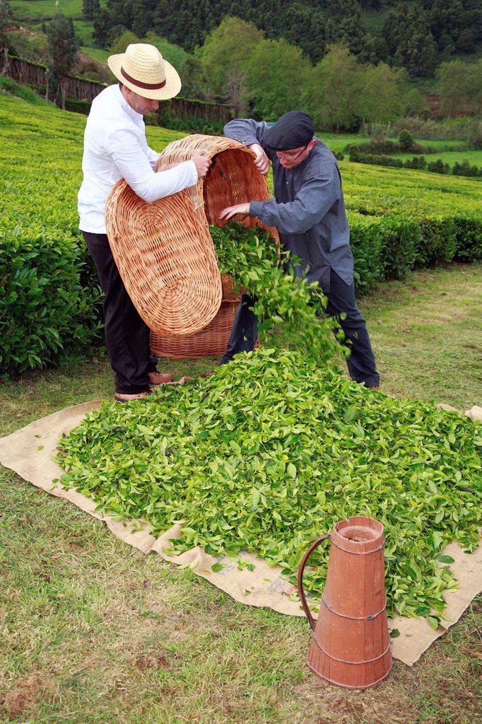 Stock Photo: 1566-1042379 Men working in the tea gardens of Porto Formoso  Sao Miguel island, Azores, Portugal