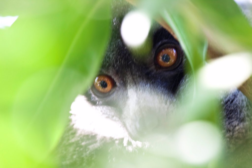 Stock Photo: 1566-1042393 Lemur rojo oculto tras el follaje