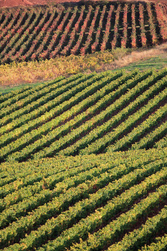 Autumn vineyards, Rioja wine region, La Rioja, Spain : Stock Photo