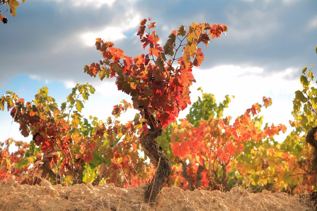 Stock Photo: 1566-1042994 Autumn vineyards, Rioja wine region, La Rioja, Spain