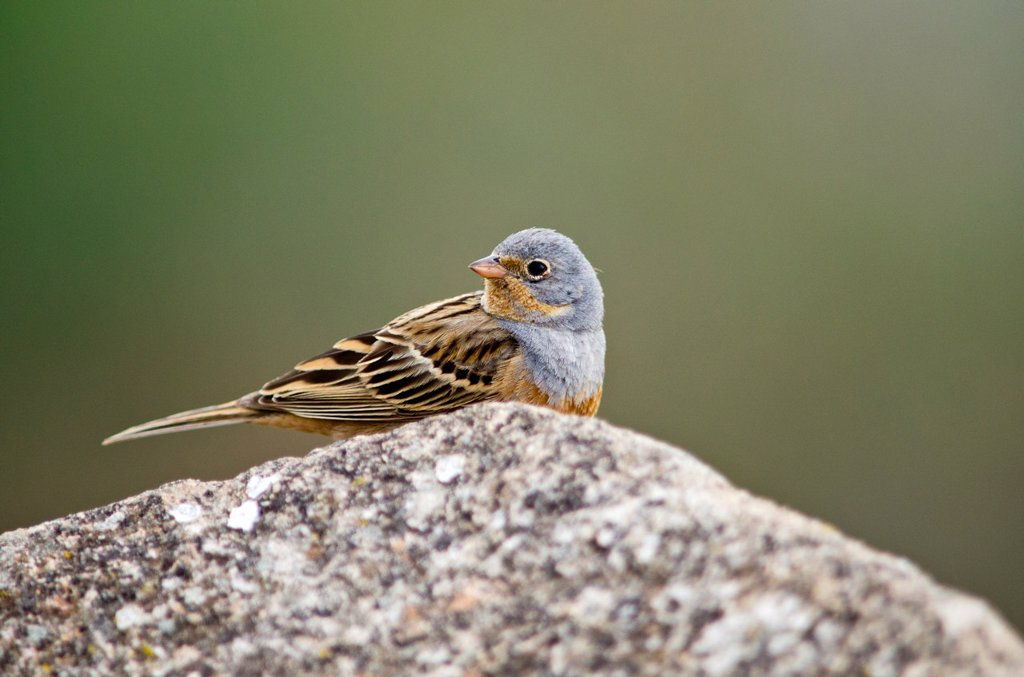 Cretzschmar´s Bunting - Emberiza caesia, Lesbos, Greece : Stock Photo