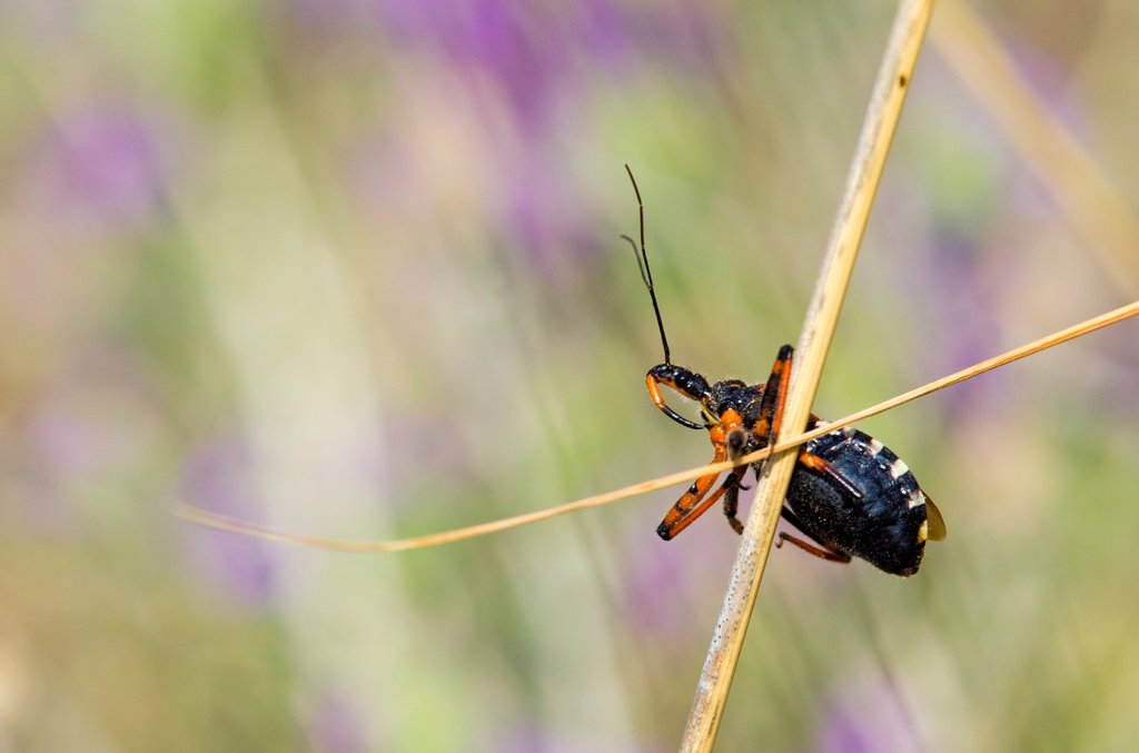 Stock Photo: 1566-1045040 Rhinocoris sp. - Flower assassin bug, Greece