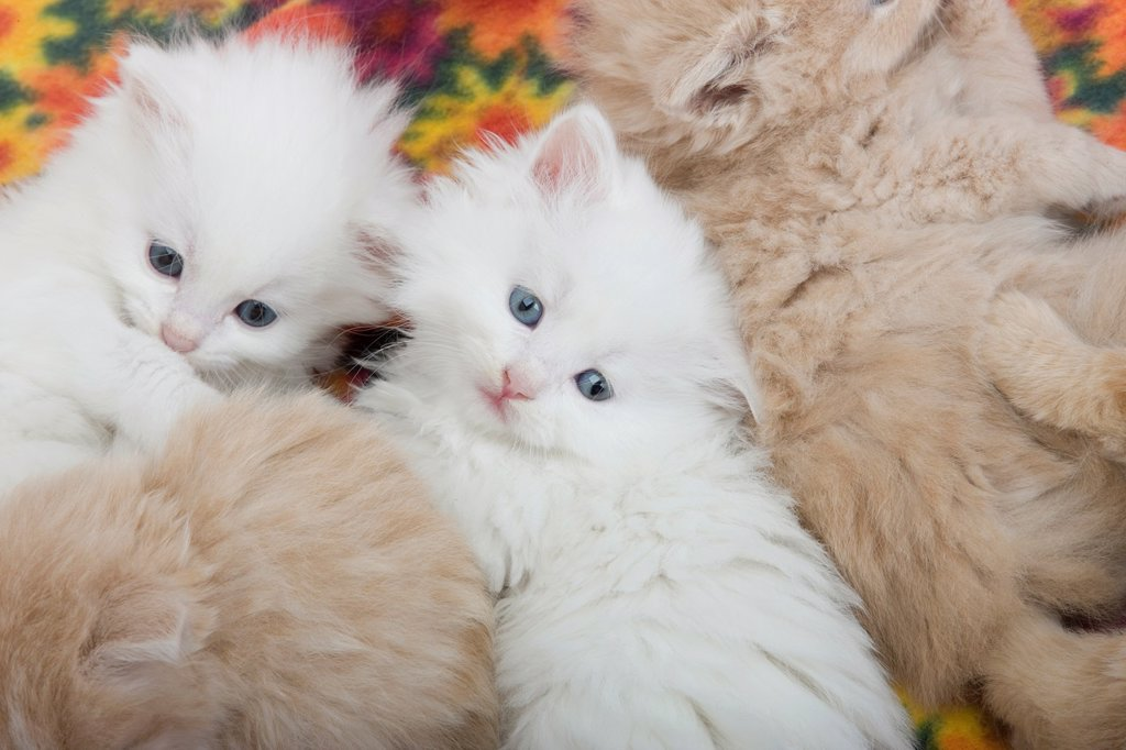 GROUP 6 WEEK OLD LONG HAIRED WHITE GINGER KITTENS LAYING ON BLANKET : Stock Photo