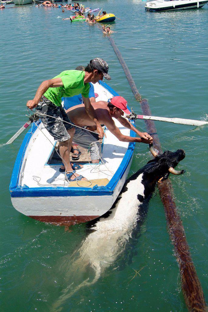 Bull rescue in water, Denia, Alicante, Spain, Europe : Stock Photo