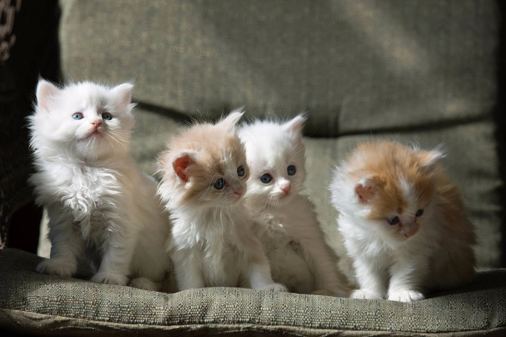 Stock Photo: 1566-1045662 GROUP OF THREE 6 WEEK OLD LONG HAIRED WHITE GINGER KITTENS ON WICKER PORCH CHAIR