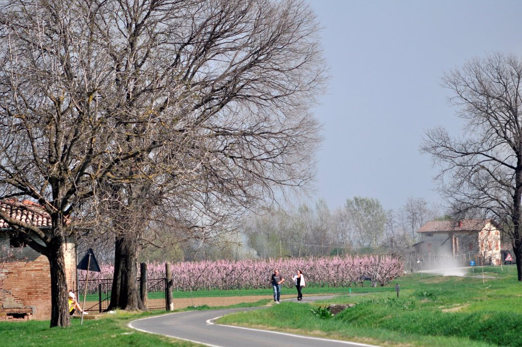 Stock Photo: 1566-1045794 Between Bazzano and Crespellano, Emilia-Romagna, Italy: plums trees blossoming in Springtime