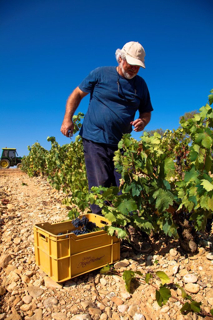 Harvest season in Briones, La Rioja, Spain : Stock Photo