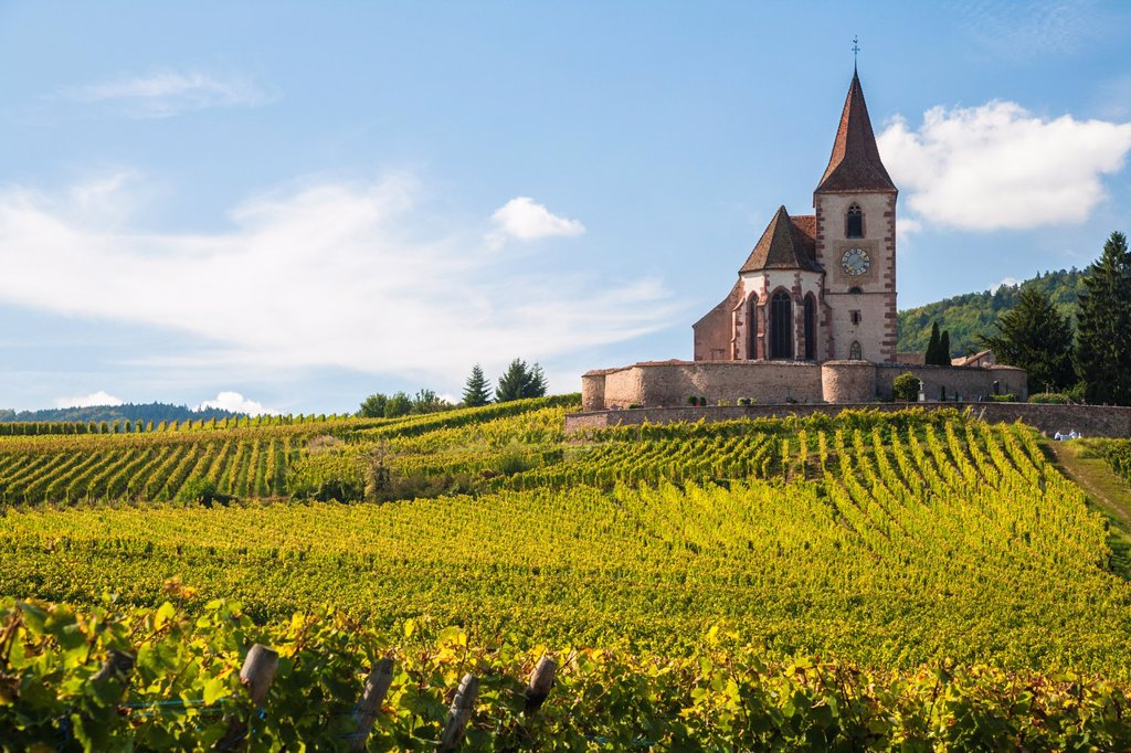 The picturesque church of Saint-Jacques-le-Majeur with surrounding vineyards, Hunawihr, Alsace, France, Europe : Stock Photo