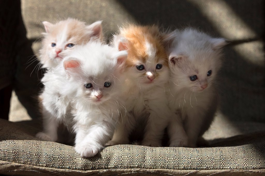 Stock Photo: 1566-1046915 GROUP OF THREE 6 WEEK OLD LONG HAIRED WHITE GINGER KITTENS ON WICKER PORCH CHAIR