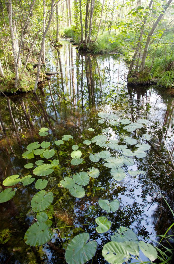 Stock Photo: 1566-1048846 Water lilies, nymphaeaceae. Location Lintharju Iisvesi Finland Scandinavia Europe.