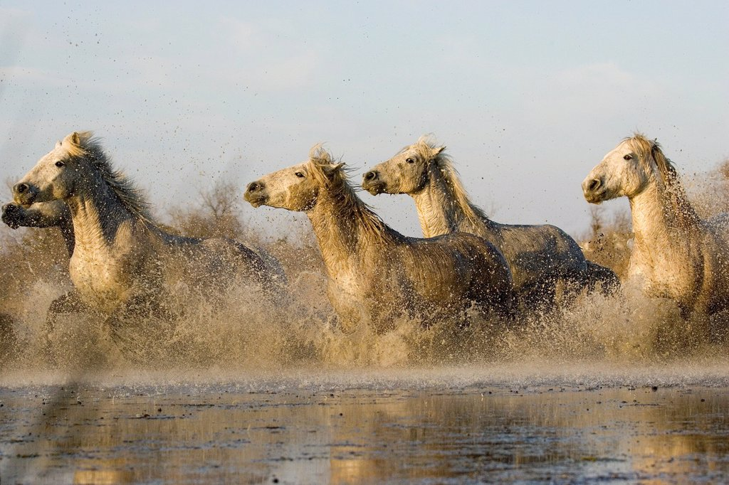 Stock Photo: 1566-1048864 Camargue Horses, Herd galloping in Swamp, Saintes Marie de la Mer in Camargue, South of France