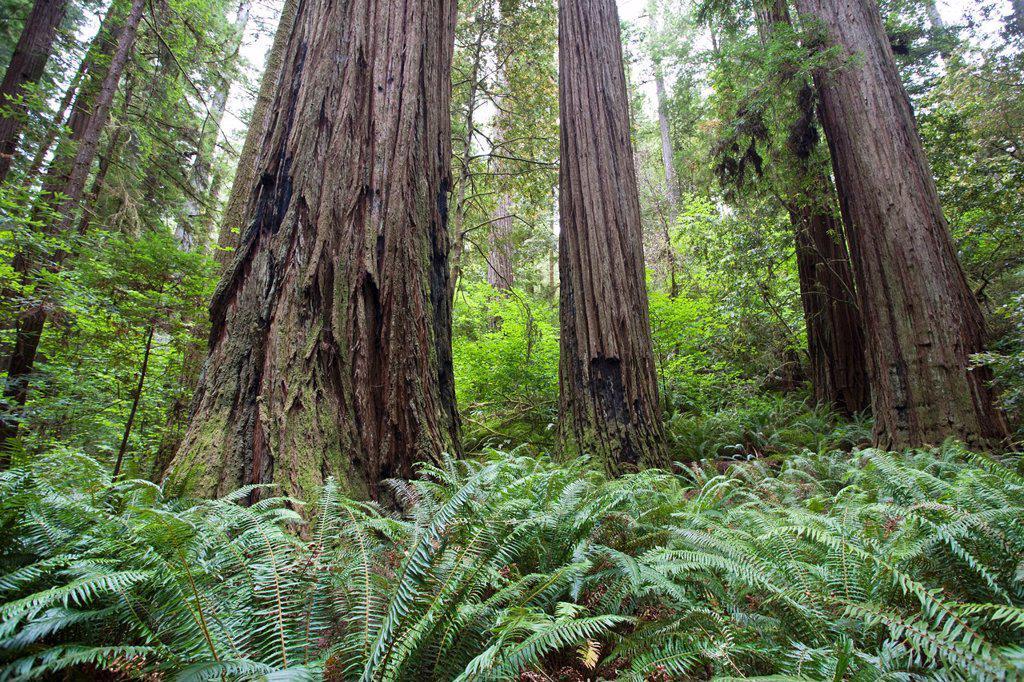 California Redwood Groves : Stock Photo