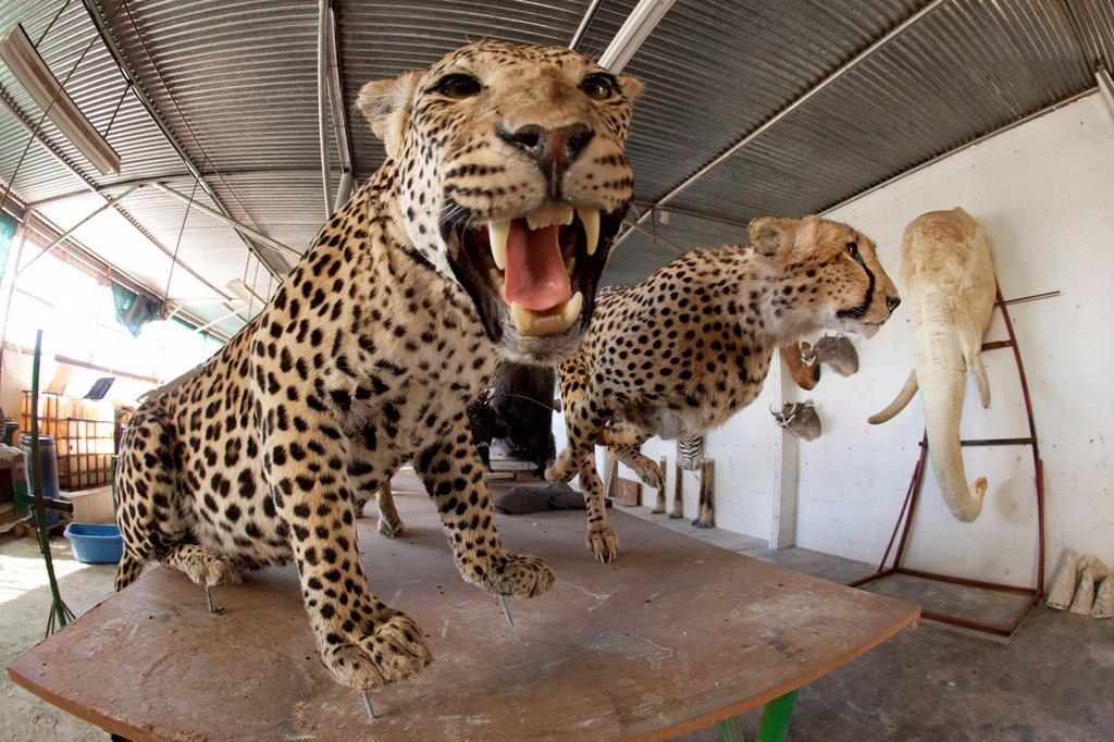 Stock Photo: 1566-1051152 taxidermy  Hunters from US and Germany shoot wildlife and stuff it as a trophy in a taxidermy workshop in Namibia