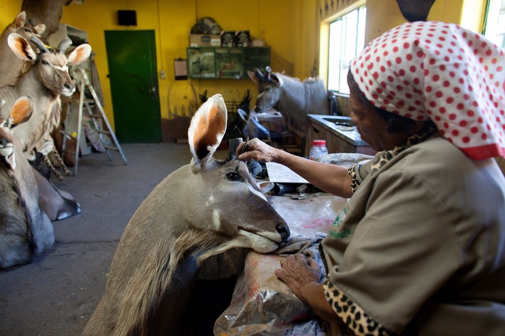 Stock Photo: 1566-1051165 taxidermy  Hunters from US and Germany shoot wildlife and stuff it as a trophy in a taxidermy workshop in Namibia