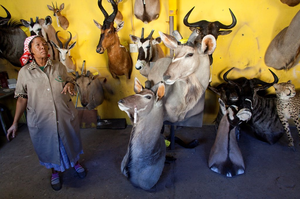 Stock Photo: 1566-1051167 taxidermy  Hunters from US and Germany shoot wildlife and stuff it as a trophy in a taxidermy workshop in Namibia