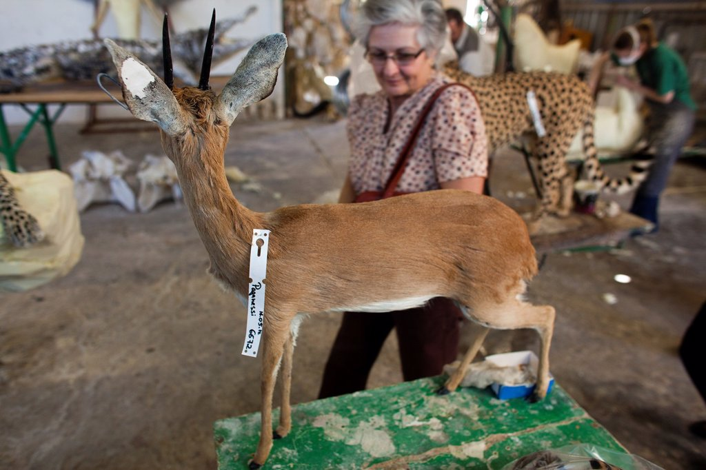 Stock Photo: 1566-1051174 taxidermy  Hunters from US and Germany shoot wildlife and stuff it as a trophy in a taxidermy workshop in Namibia