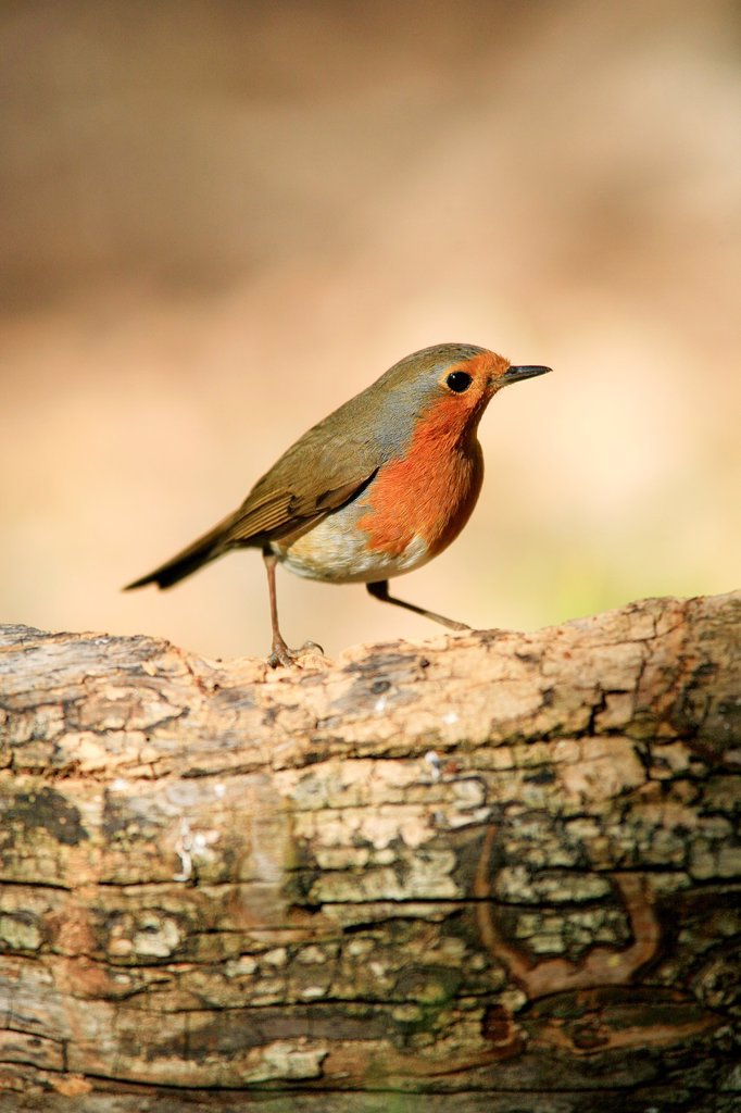 Stock Photo: 1566-1051810 Robin Erithacus rubecula in the Natural Park Sierra Calderona