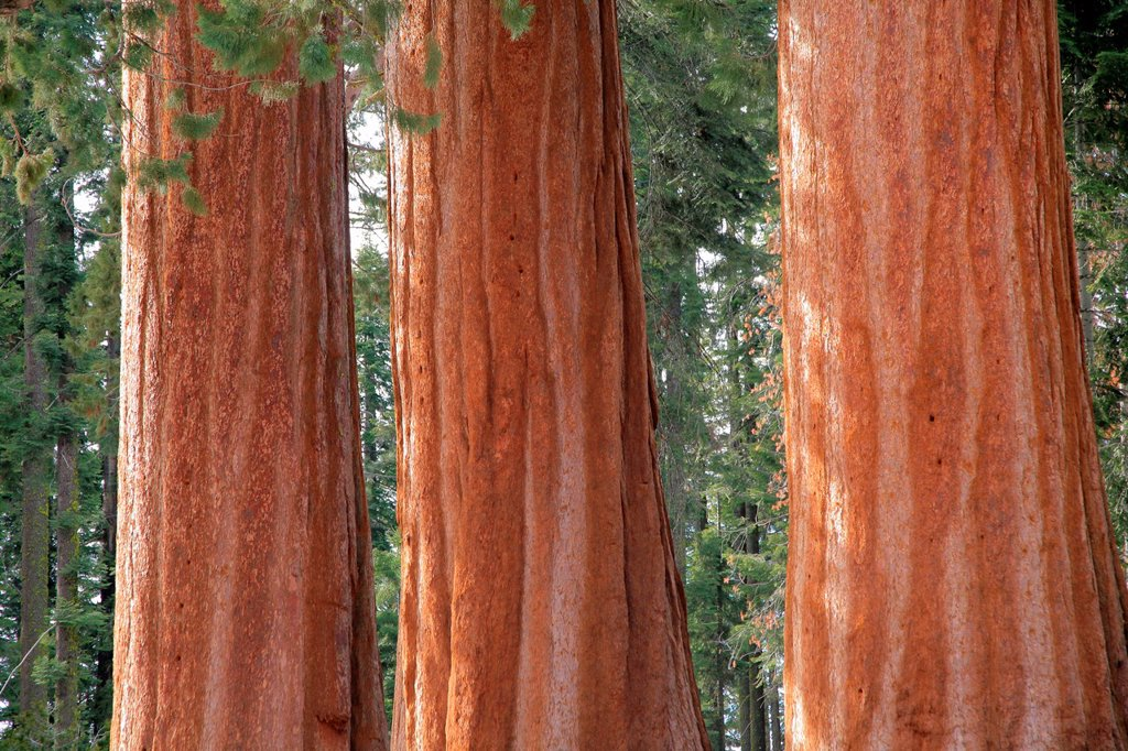 Stock Photo: 1566-1051836 Giant Forest, Sequoia National Park in Tulare County, Sierra Nevada, California, United States, USA  Sequoiadendron giganteum