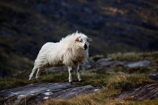 Irish sheep  County Kerry, Ireland : Stock Photo