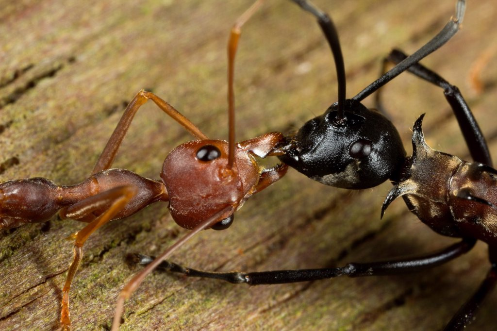 Biting and fighting between red ant and black ant : Stock Photo