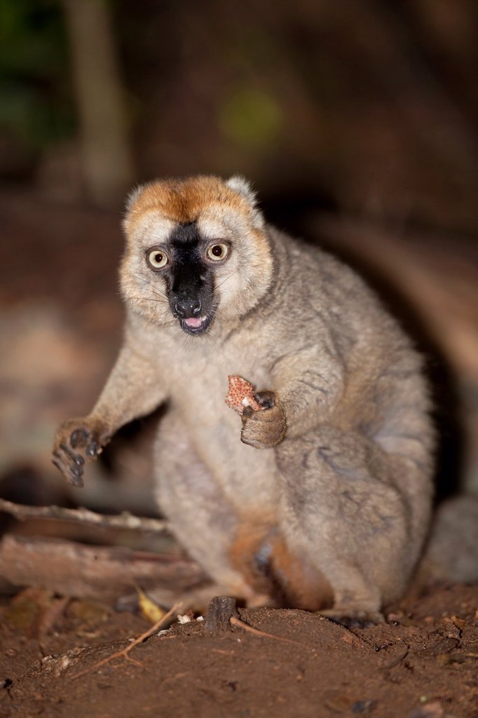 Stock Photo: 1566-1054728 Red-fronted Brown Lemur Eulemur rufifrons eating plant on forest floor, Berenty, Madagascar