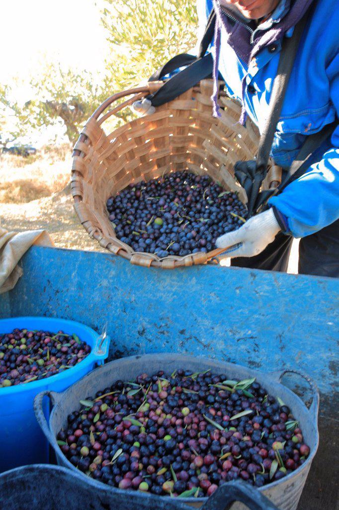 Stock Photo: 1566-1055152 Olive harvesting, Alava, Spain