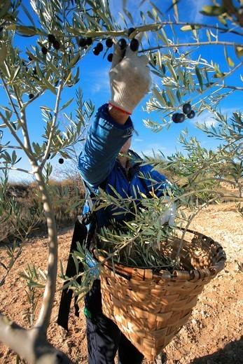 Olive harvesting, Alava, Spain : Stock Photo