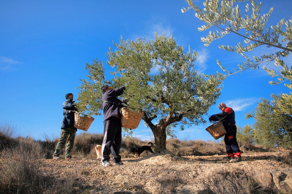 Stock Photo: 1566-1055155 Olive harvesting, Alava, Spain
