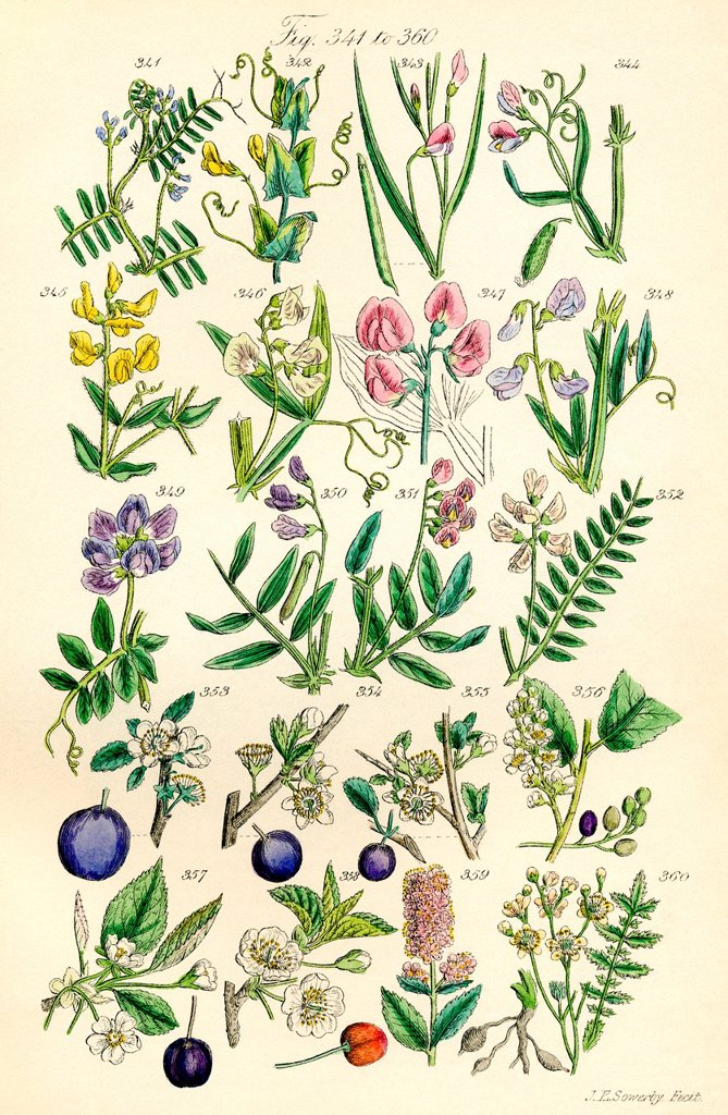 Stock Photo: 1566-1056040 Page of colour illustrations from British Wild Flowers after a work by J E  Sowerby and C P  Johnson