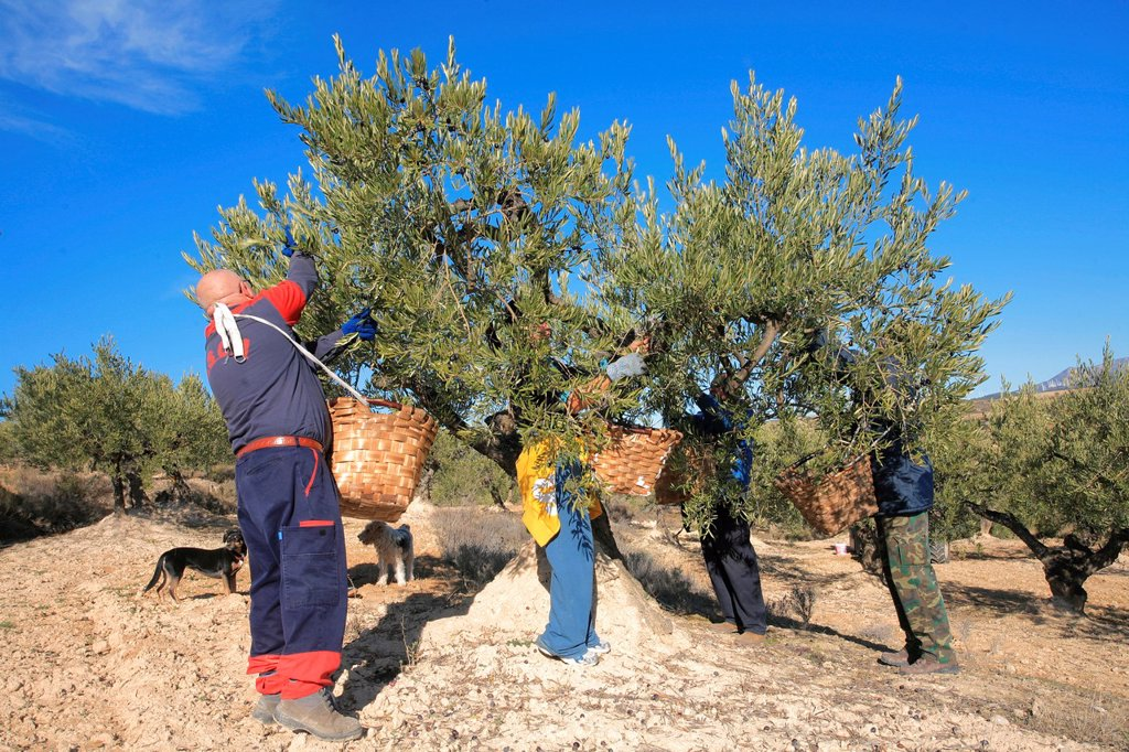 Stock Photo: 1566-1057382 Olive harvesting, Alava, Spain