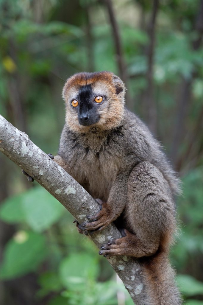 Stock Photo: 1566-1058559 Red-fronted Brown Lemur Eulemur rufifrons sitting in tree, Isalo National Park, Madagascar
