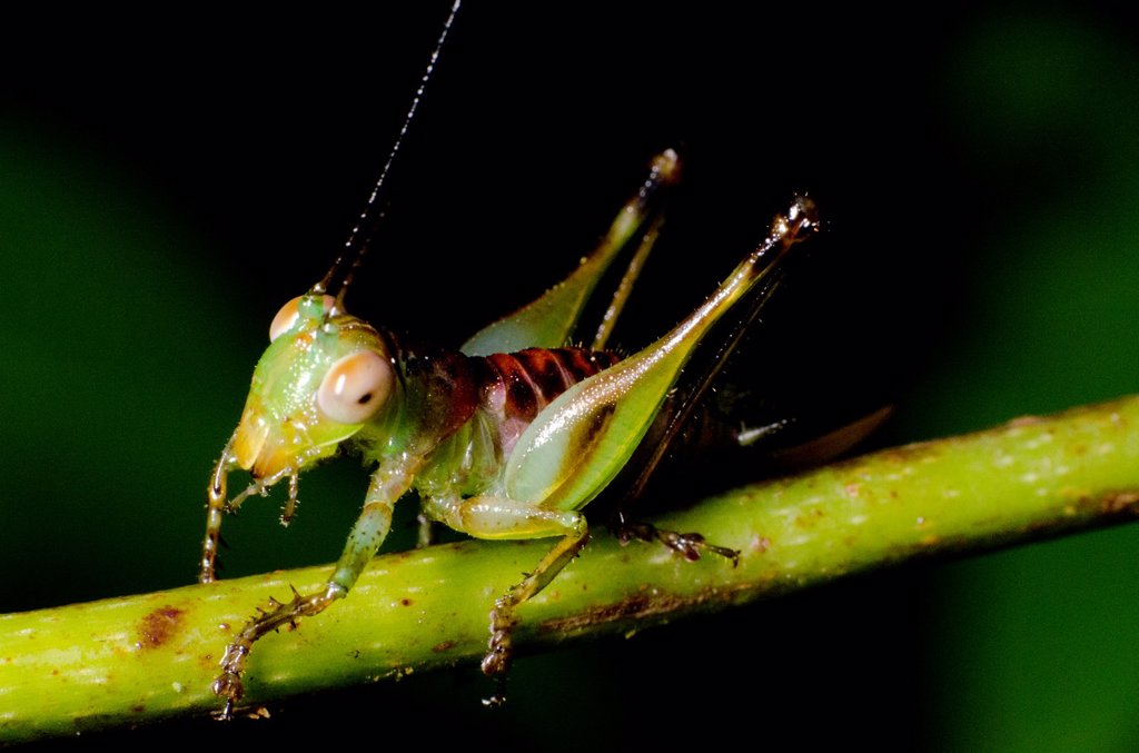 Stock Photo: 1566-1060663 Grasshopper