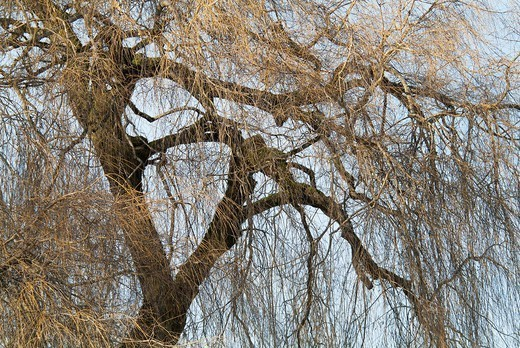 weeping willow tree in winter. : Stock Photo