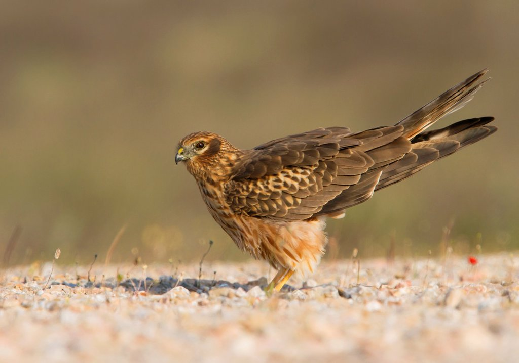 Stock Photo: 1566-1061355 Montagu´s Harrier Circus Pygargus on the ground, Athens Greece