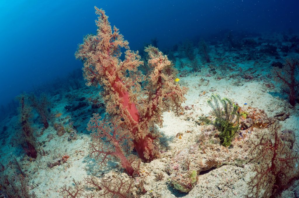 Soft coral Dendronephthya sp  growing on sandy bottom  Mysids in water column in background  Indonesia : Stock Photo