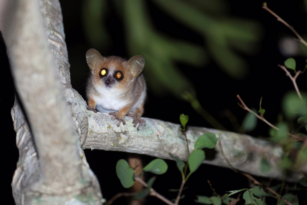 Gray-brown Mouse Lemur Microcebus griseorufus sitting on branch at night, Berenty, Madagascar : Stock Photo