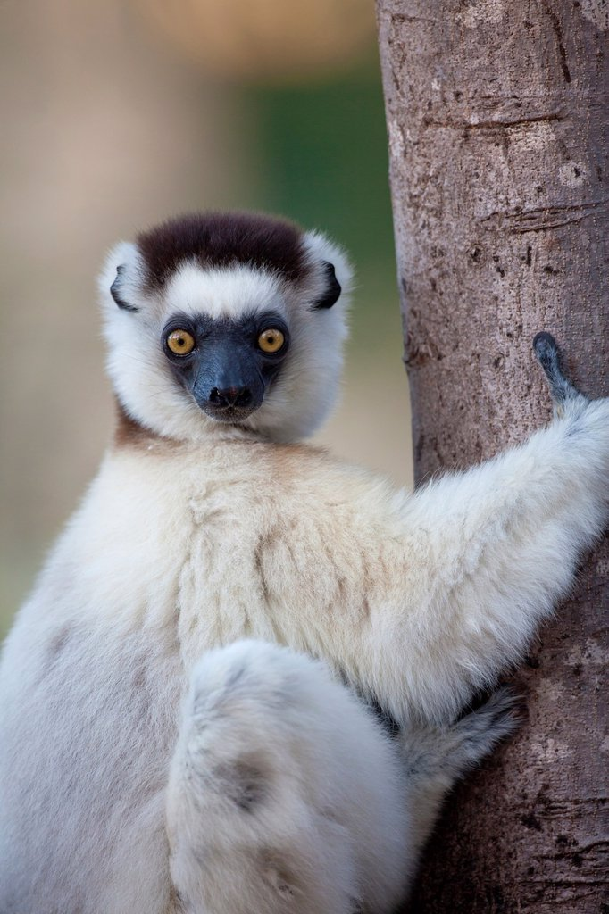 portrait of a Verreaux´s Sifaka Propithecus verreauxi, Berenty, Madagascar : Stock Photo