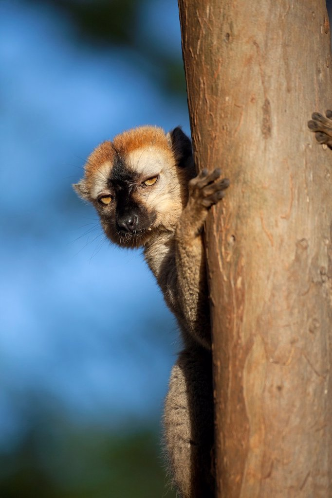Stock Photo: 1566-1062342 Red-fronted Brown Lemur Eulemur rufifrons peering from behind tree, Berenty, Madagascar