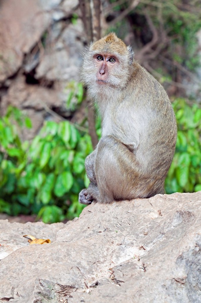 Stock Photo: 1566-1063519 Macaque monkey, Wat Tham Suwankhuha Heaven Grotto Temple, Phang-Nga Province, Thailand