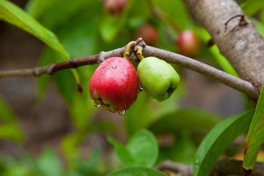 Mountain Apple Tree, Maui Nui Botanical Gardens, Kahului, Maui, Hawaii, USA : Stock Photo