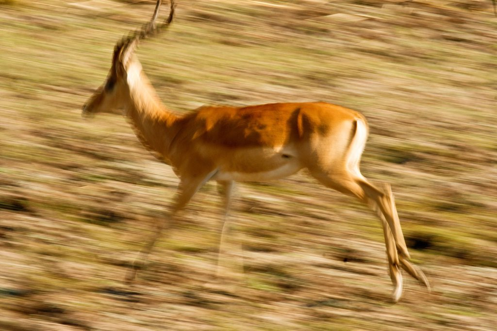 Stock Photo: 1566-1064534 Blurred view of Impala, Aepyceros melampus in Mana Pools National Park  Zimbabwe