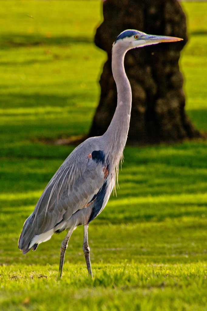 The Great Blue Heron Ardea herodias is a large wading bird in the heron family Ardeidae, common near the shores of open water and in wetlands over most of North America  This specimen is proudly walking in a Long Beach, CA, park : Stock Photo