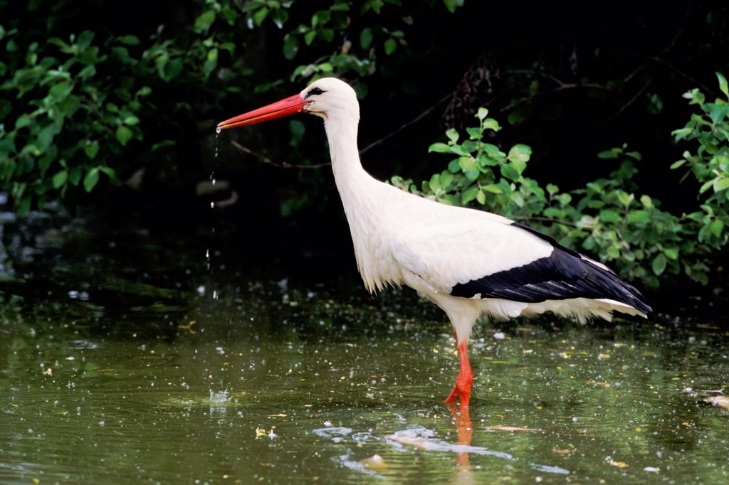 White Stork Ciconia ciconia standing in pond and drinking water - France : Stock Photo