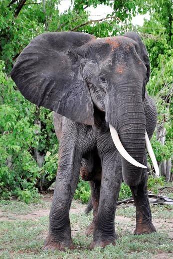 Elephant, Chobe National Park, Botswana : Stock Photo