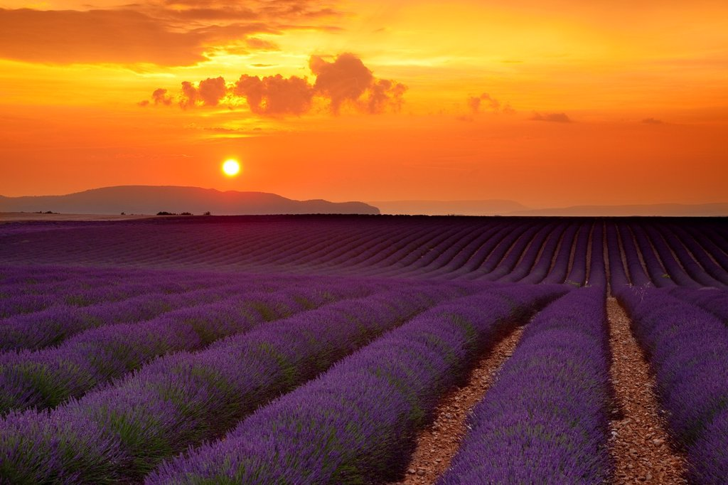 Sunset over lavender field near Valensole, Provence France : Stock Photo