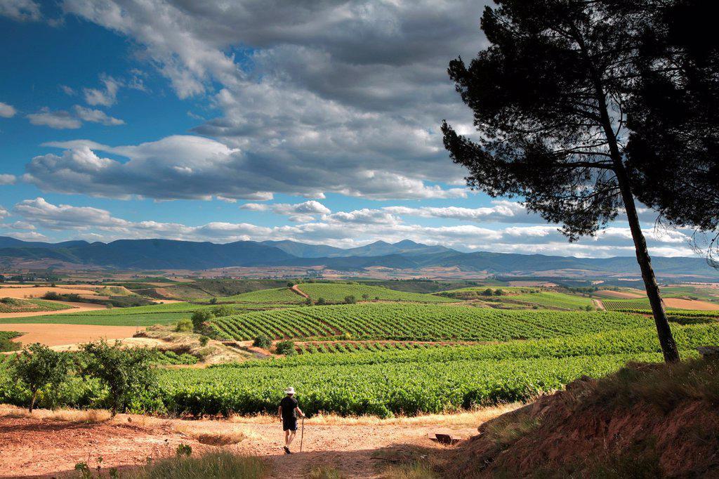 Stock Photo: 1566-1069662 Summer Rioja winescape, Camino de Santiago, Santiago way, Alesanco vines, Rioja wine region, Spain